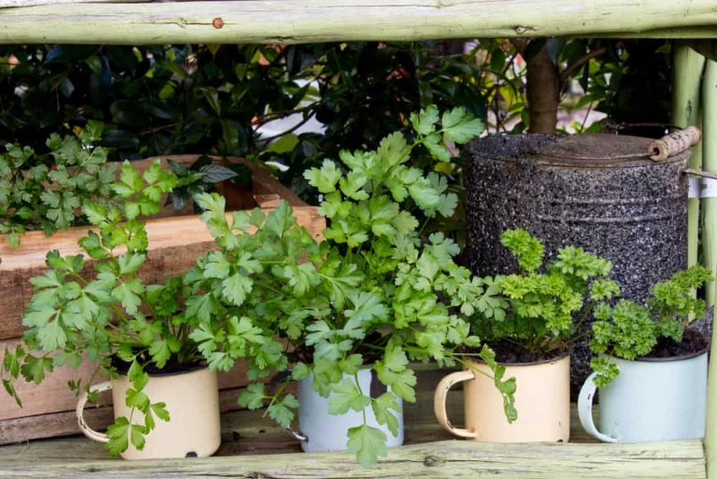 Herb garden planted in coffee mugs