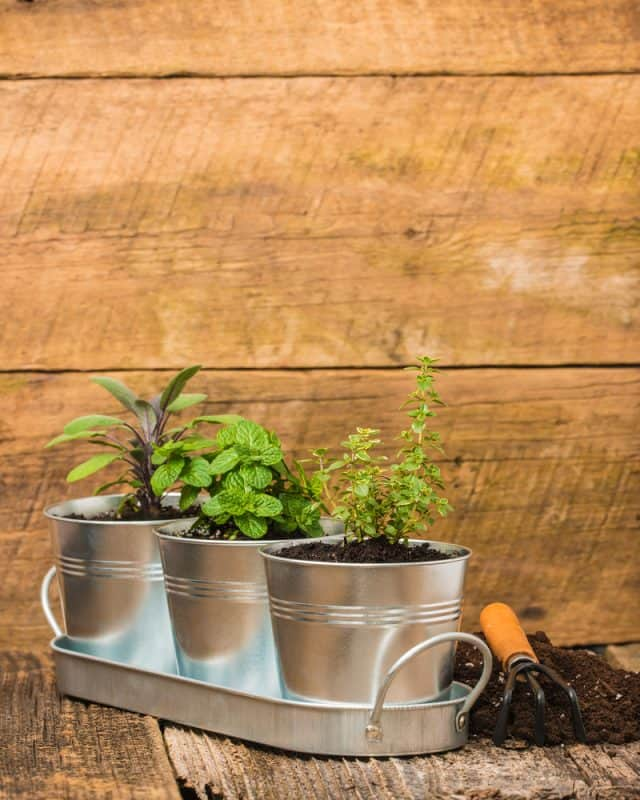 Herbs growing in metal bucket planters