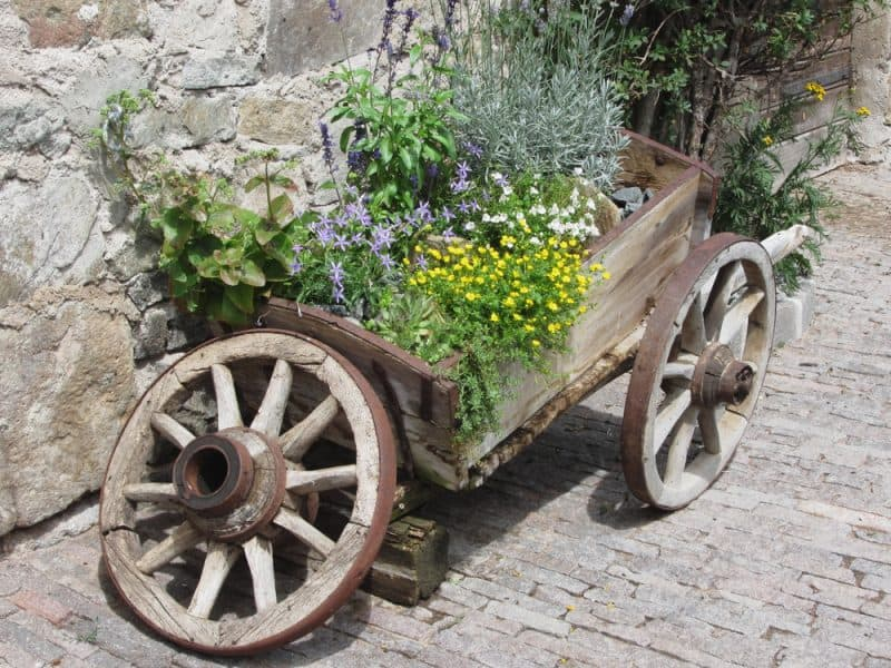 Herbs growing in old wheelbarrow