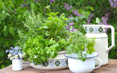 Herbs growing in dining dishes
