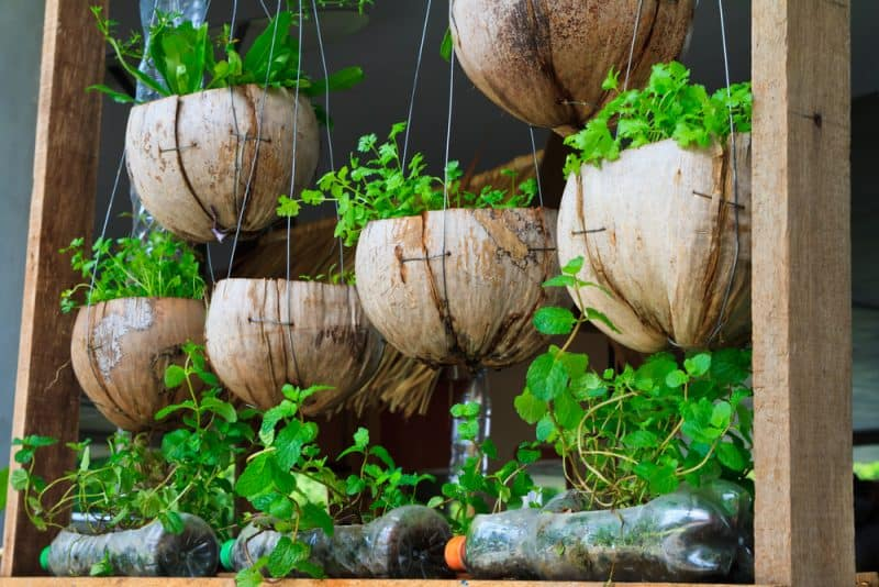 Hanging herb garden planted in coconut shells