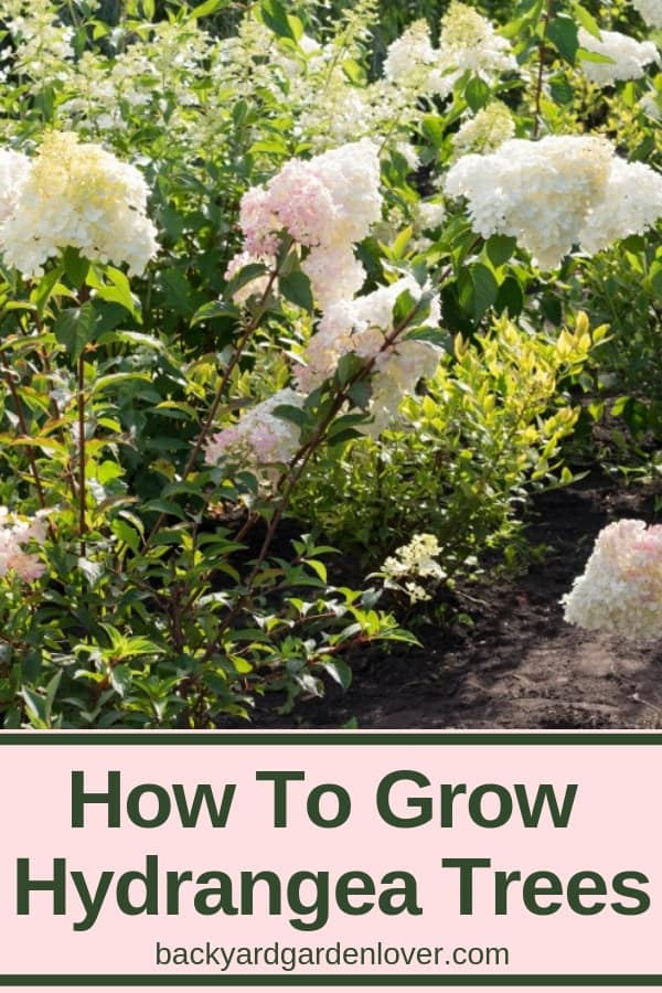 How to grow hydrangea trees