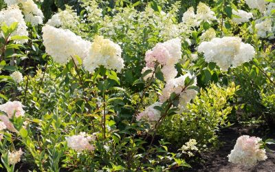 Hydrangea Unic or Hydrangea paniculata. Bush in garden. Soft white and rose shades, full bush, other flowers and trees around. Sunny summer day.