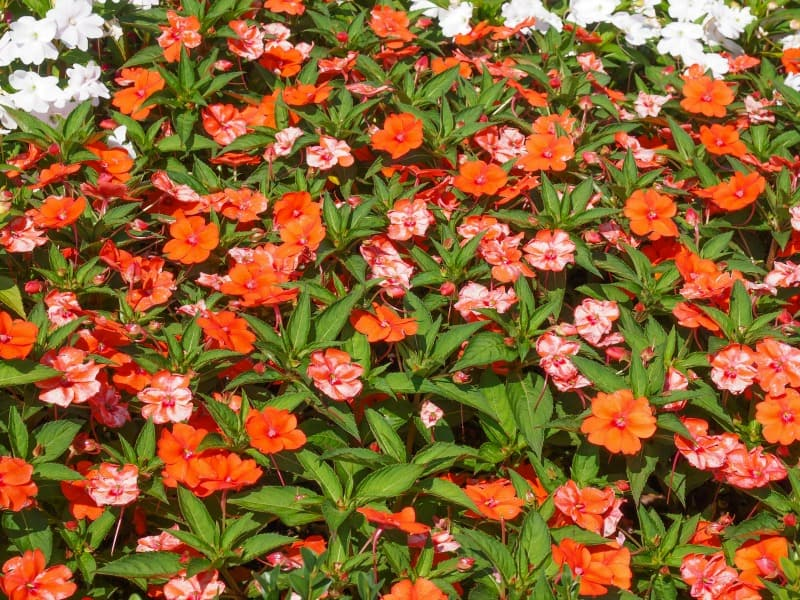 Orange and pink new Guinea impatiens