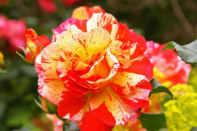 Painter rose - yellow and red bi-color rose