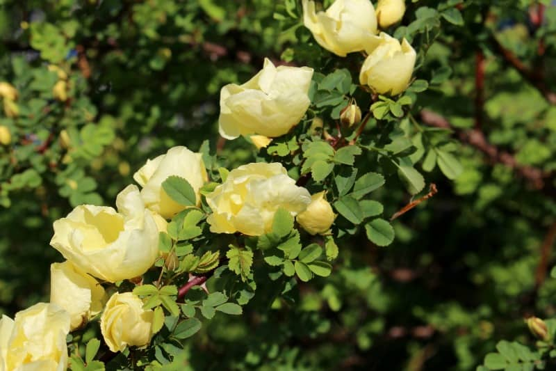 Pale yellow Chinese roses