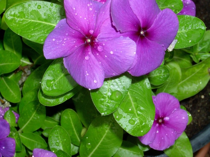 Lavender colored periwinkle flowers