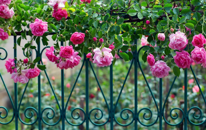 Pink climbing roses on a beautiful metal fence