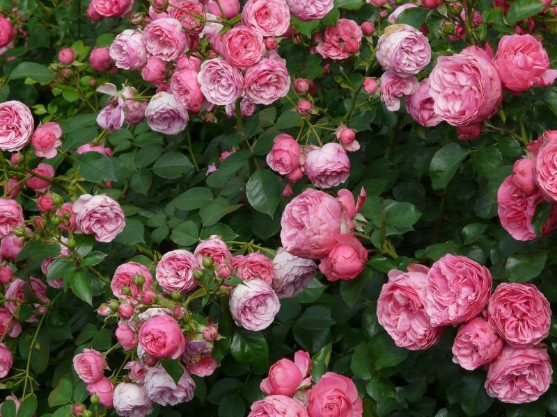Pink fragrant roses
