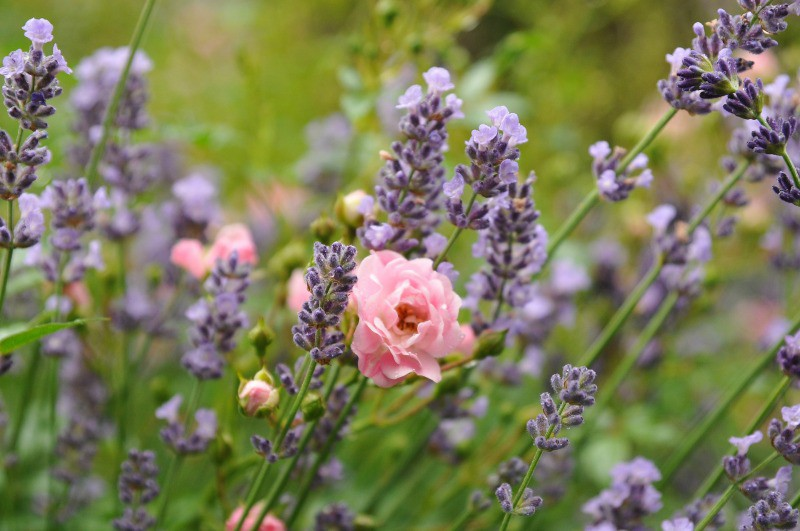 Pink rose surrounded by lavender flowers