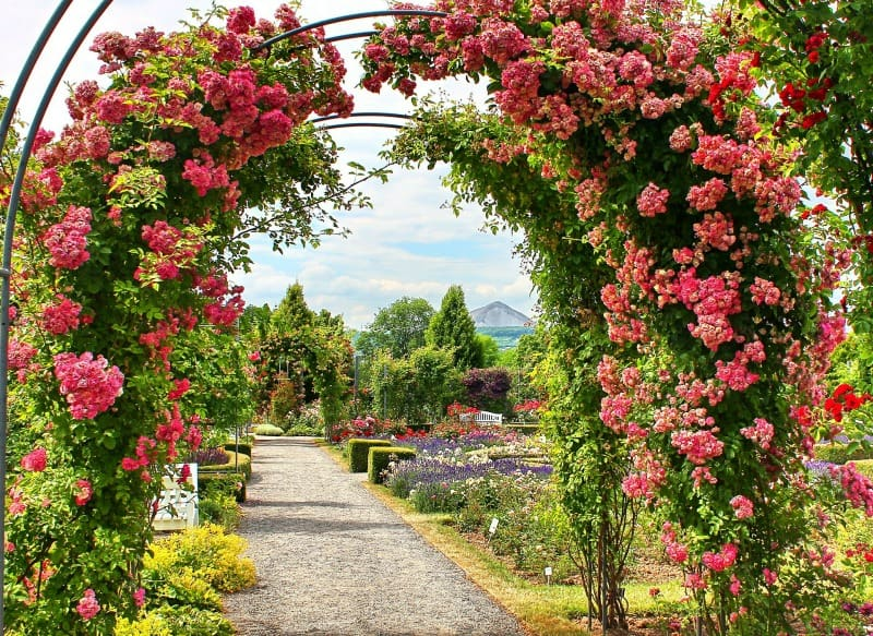 Pink roses arch