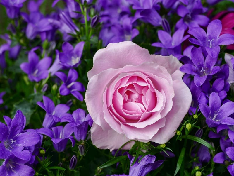 Pink rose and bright purple flowers
