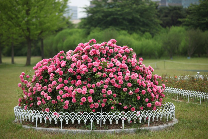 Pink roses round bush in a park setting