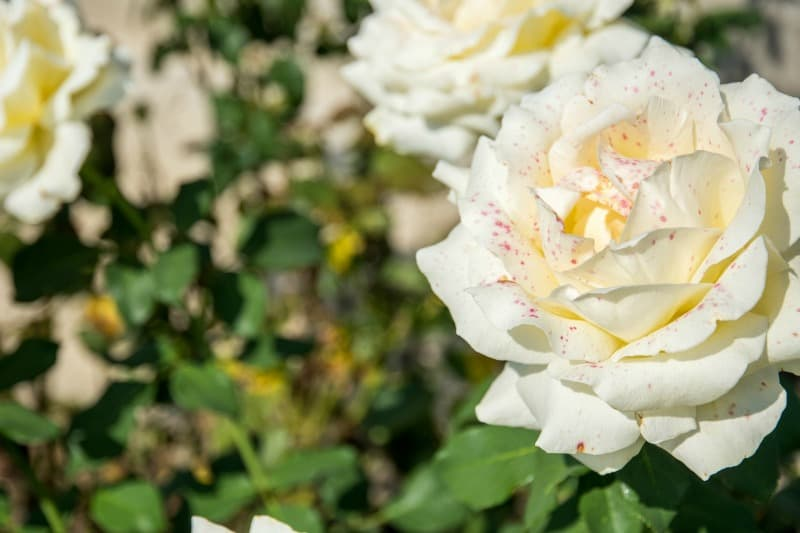 Pink speckled white rose