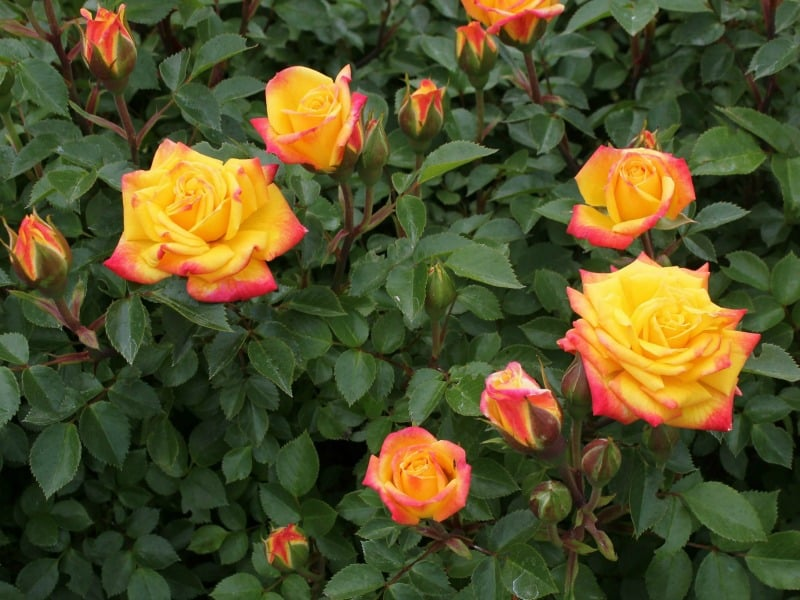 Rainbow miniature roses