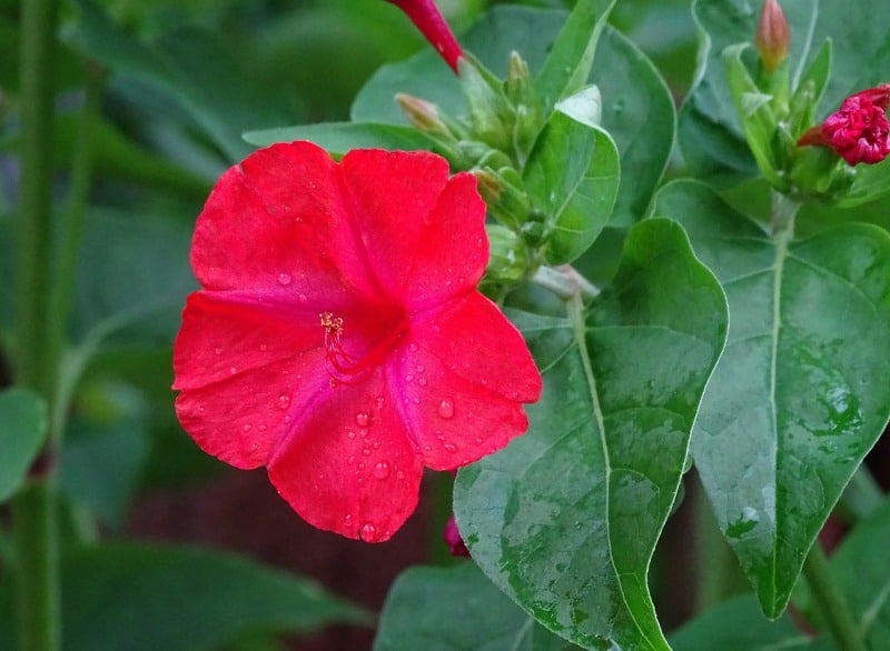 REd mirabilis jalapa - four o'clocks