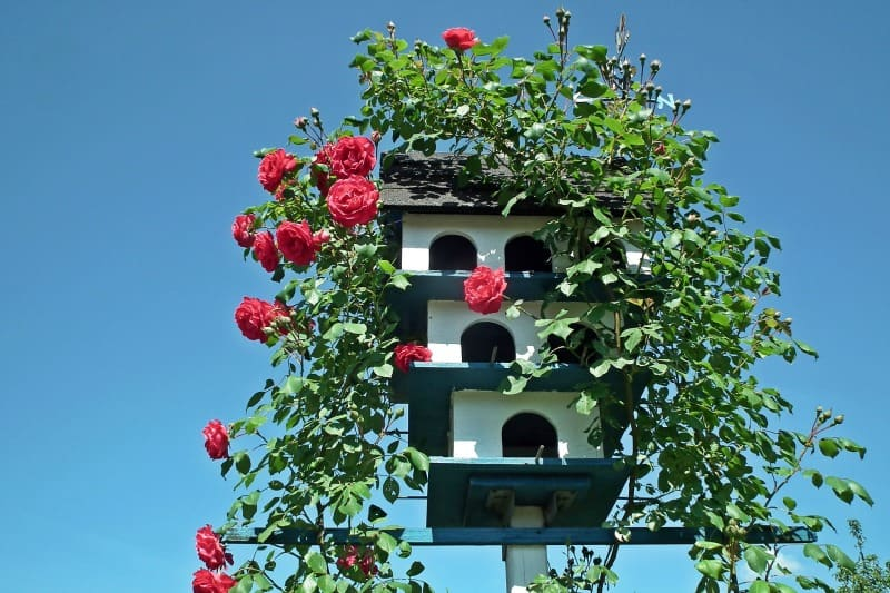 Red roses covering bird houses