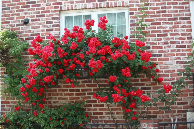 Red roses cascading down a window box