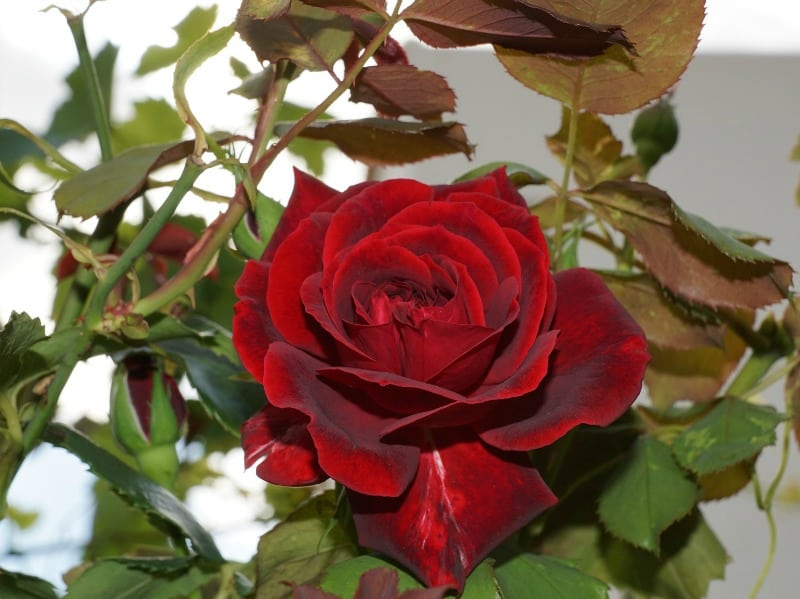 Red tea rose flower