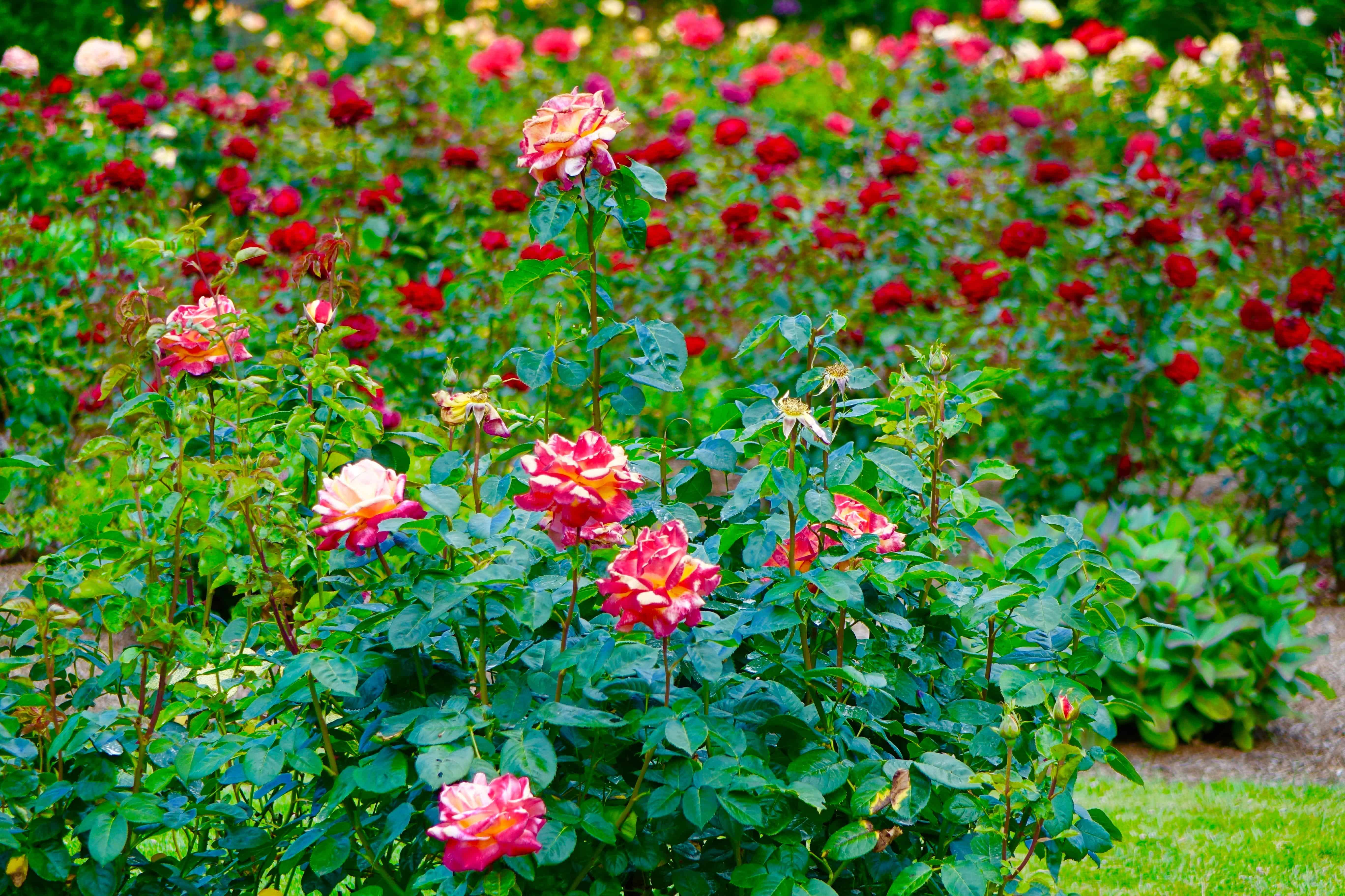 40 Amazing Rose Pictures To Inspire You