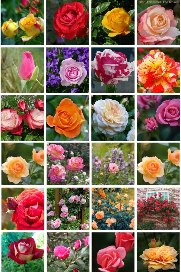 If you love roses, growing a rose garden will bring you so many happy moments! But there are times in the year when all we have is a memory of our rose gardens. Save this for those days when you just need to see the beauty of roses! This collection of more than 40 rose pictures, including red, yellow, white, pink and bi-color roses is just what you need ;) #roses #rosegarden #rosepictures #roseimages #iloveroses #beautifulroses #roseaddiction