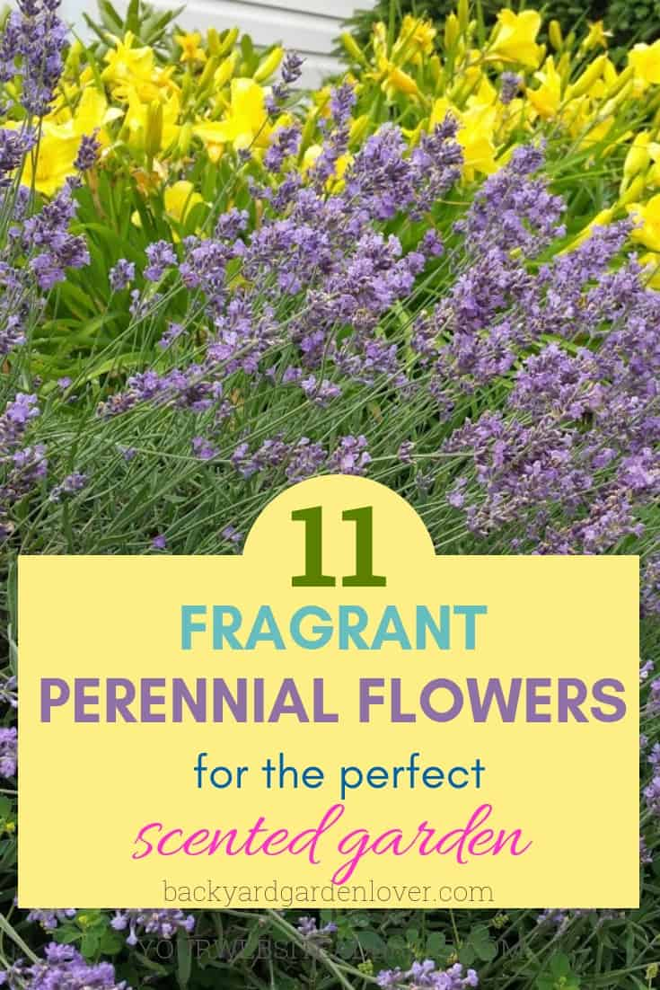 If you want a low maintenance garden that's beautiful and smells good, you've got to take a look at these 11 fragrant perennial flowers: lavender, honey suckle, roses, peonies, and more! You'll love planting them once and enjoying them year after year. #fragrantgarden #scentedgarden #scentedflowers #scentedperennials #fragrantperennials #prettyflowers #flowers