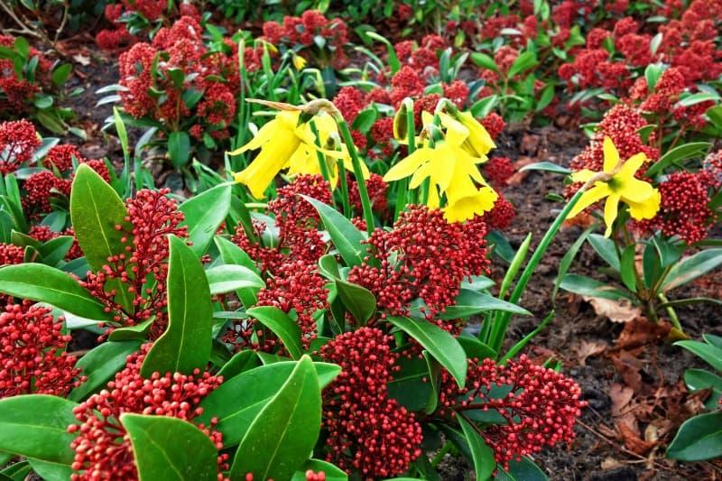 2) Japanese Skimmia, alsoknow as Skimmia japonica