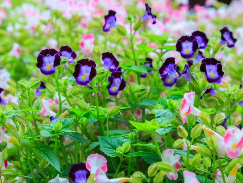 Varieties of Wishbone flowers, Bluewings or Torenias, as beautiful fresh bright wildflowers ornamental garden