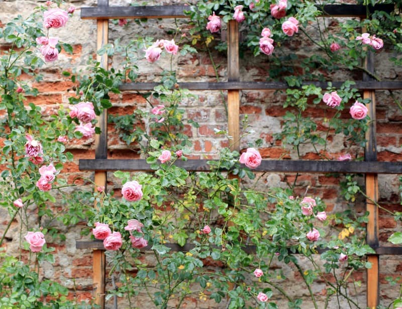 Vintage climbing roses
