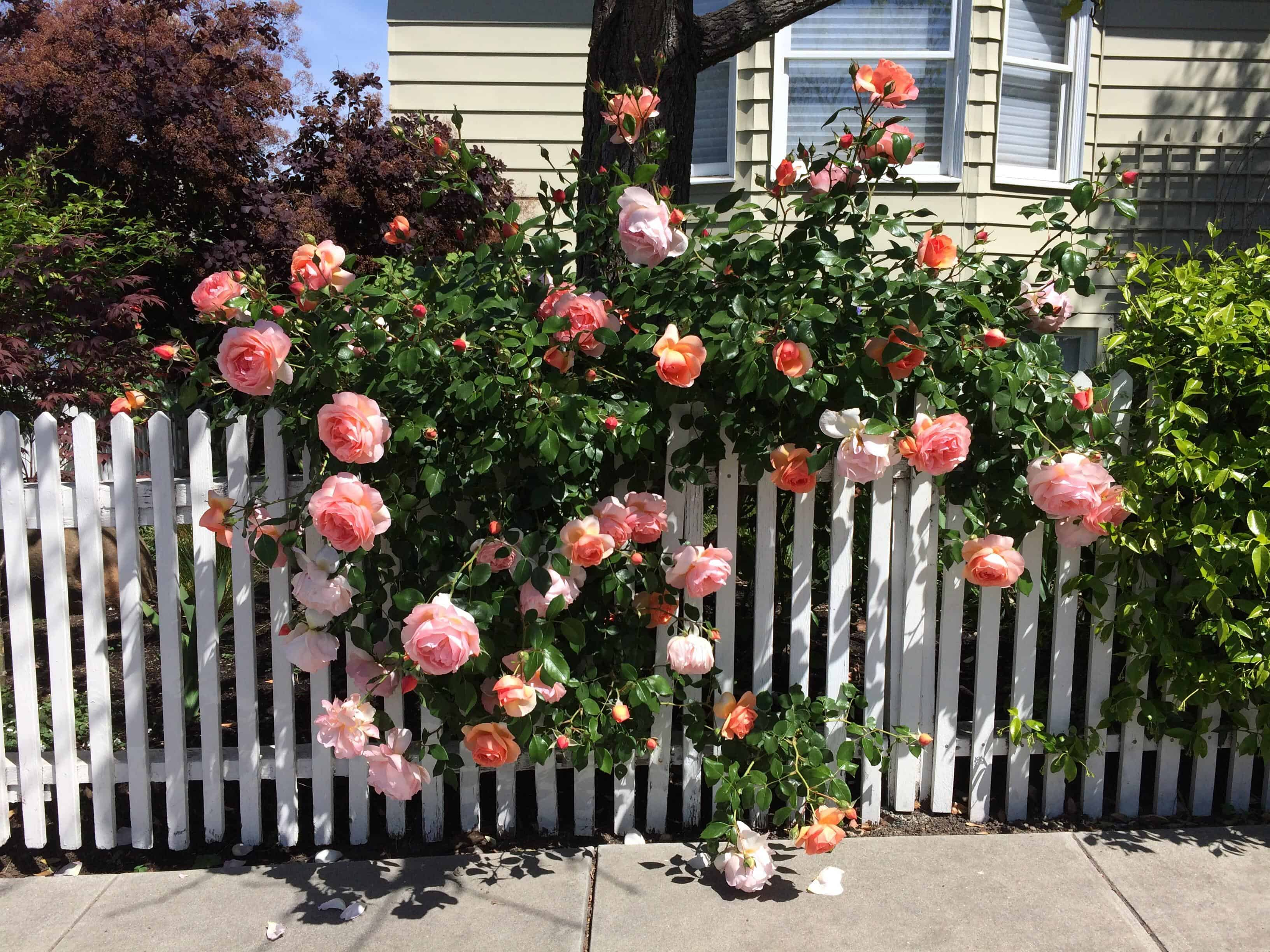 Roses peeking through a white fence