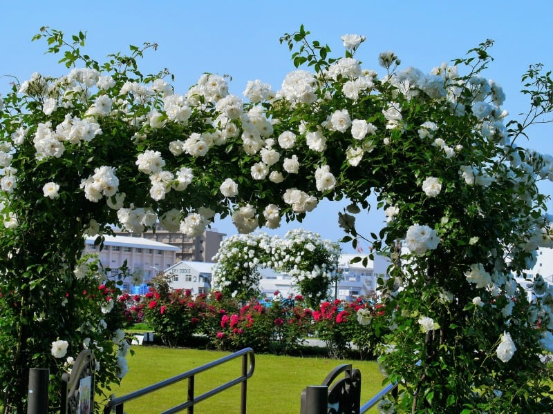 White roses arch
