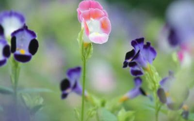 Pink and purple wishbone flowers