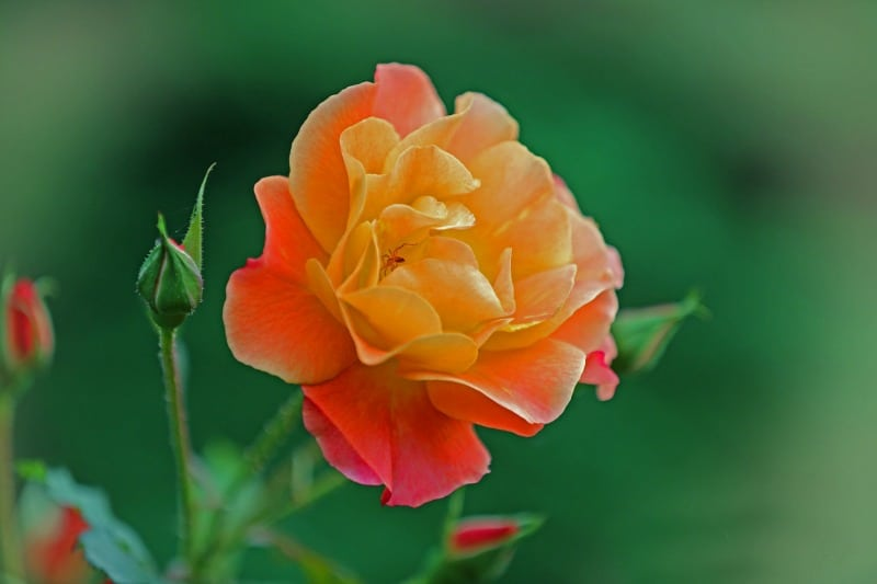 Beautiful orange, pink and yellow colored rose
