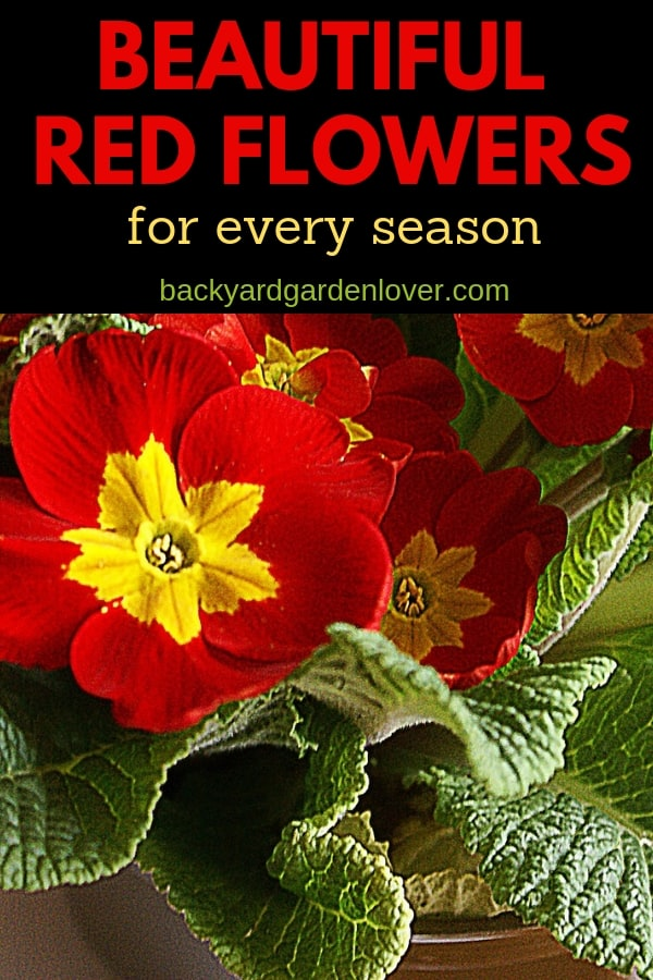 If you like red flowers, you'll LOVE my collection of beautiful red flowers listed by season. Add some to a border, couple some with your favorite white or yellow flowers, cut a few and put them in a vase, and you'll enjoy these beauties all year long. #redflowers #redroses #reddahlias #redflowergarden #gardener #landscape #landscaping #flowers #cutflowers
