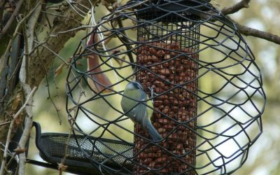 Great tit eating from a hanging bird feeder