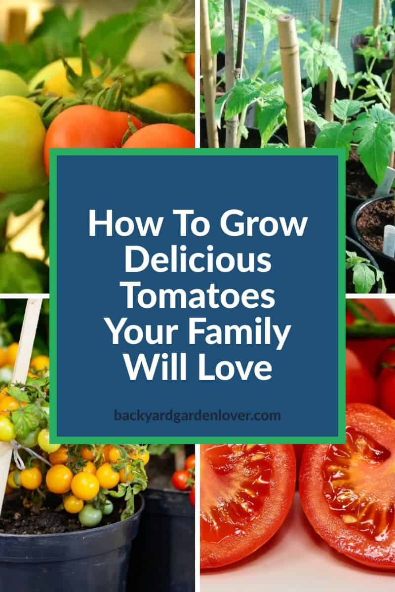 Learn how to grow tomatoes your family will love eating all summer long, and even later in the winter from all the delicious meal you'll make with frozen and preserved tomatoes. #growtomatoes #tomatoharvest #organicgarden #gardening #homestgeading #growyourfood #tomatogarden