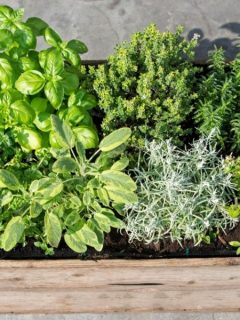 patio herb garden in a wooden container