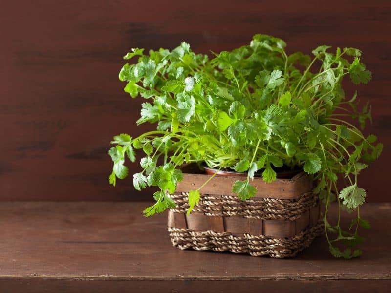 potted cilantro
