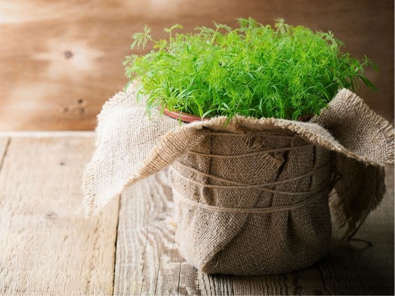 potted dill