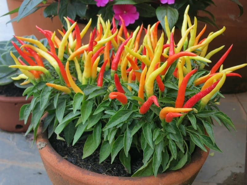 Colorful pot of hot peppers