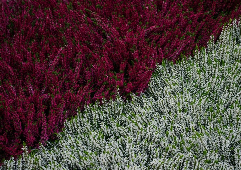 Red and white heather field