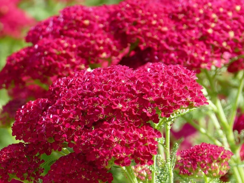 Red yarrow blooms