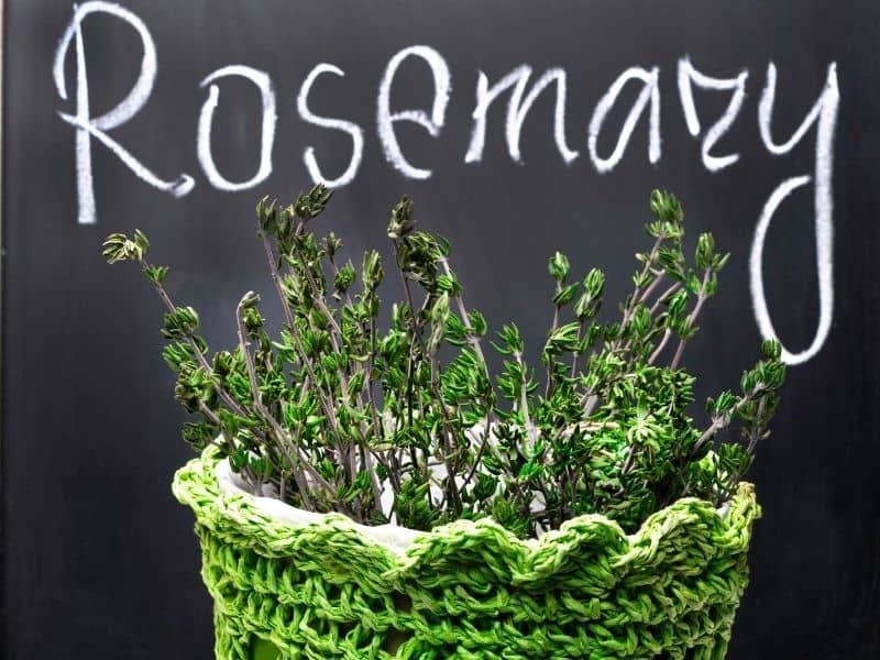 rosemary in container