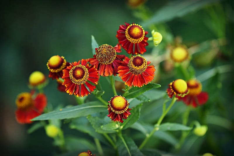 Helenium flowers, also known as sneeze weed
