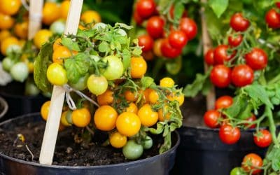 Homegrown cherry tomatoes in a pot