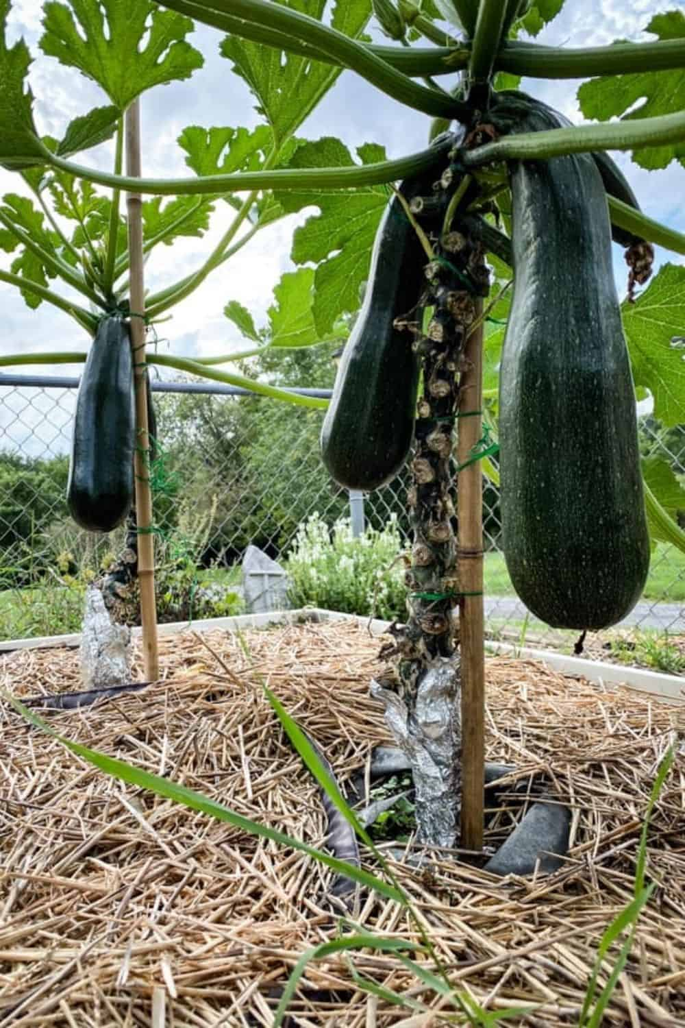 Vertical growing zucchini