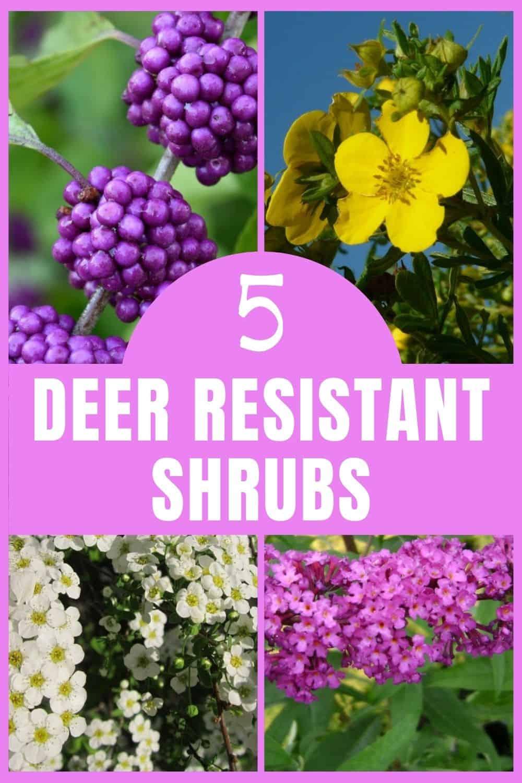 5 deer resistant shrubs