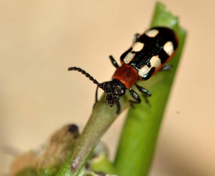 5 Simple Steps To Asparagus Beetles Control