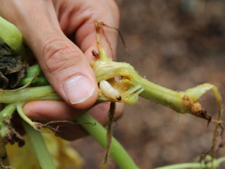 Best Squash Vine Borer Treatment - 5 Chemical-Free Options