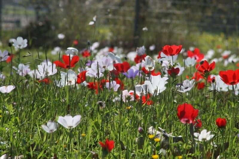 Anemone coronaria flowers